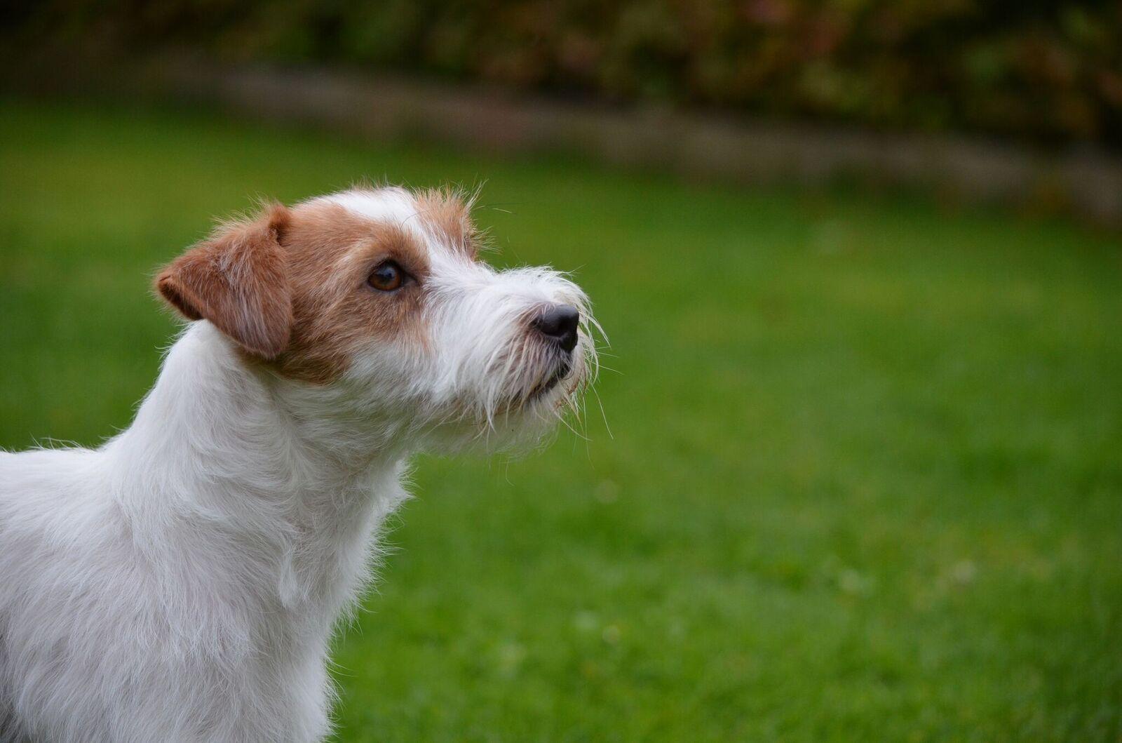Jack Russel Terrier - Jackstars Perfect Fantasy